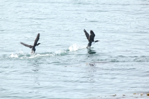 Sea birds taking off