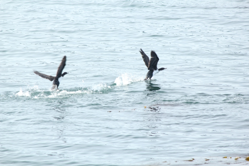 Sea birds taking off
