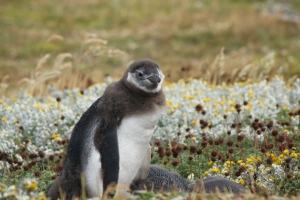 "Penguin asks ""Who me?"""
