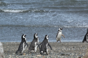 Penguins Surf''s Up!