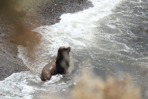 Sea lion catching some waves