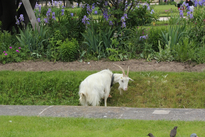 Goat helping to mow the grass in Jardin de Tuileries