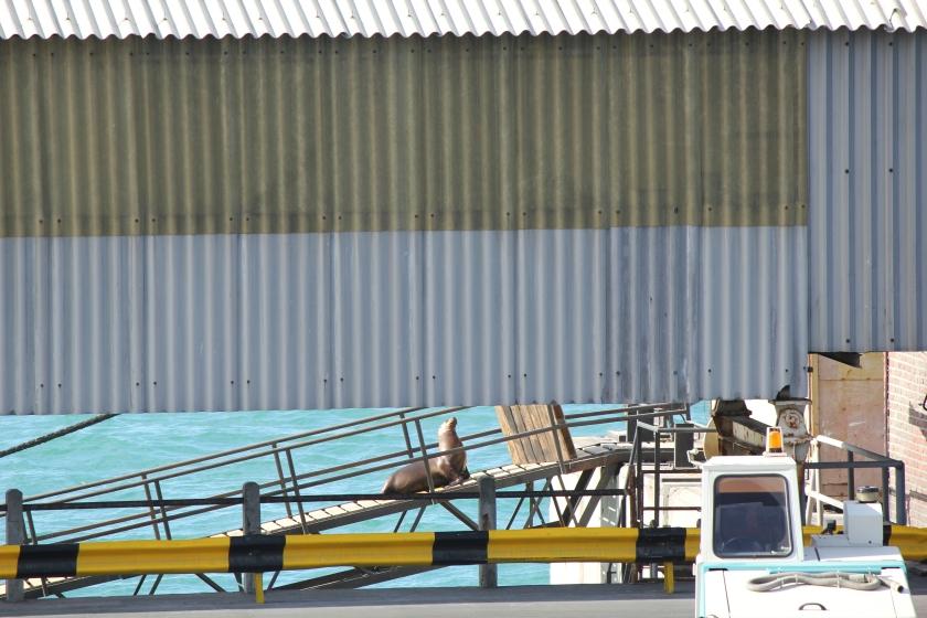 Unauthorized passenger boarding ship in Puerto Arenas, Argentina