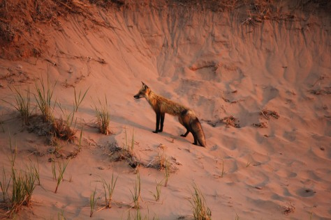 Red fox at sunset in PEI