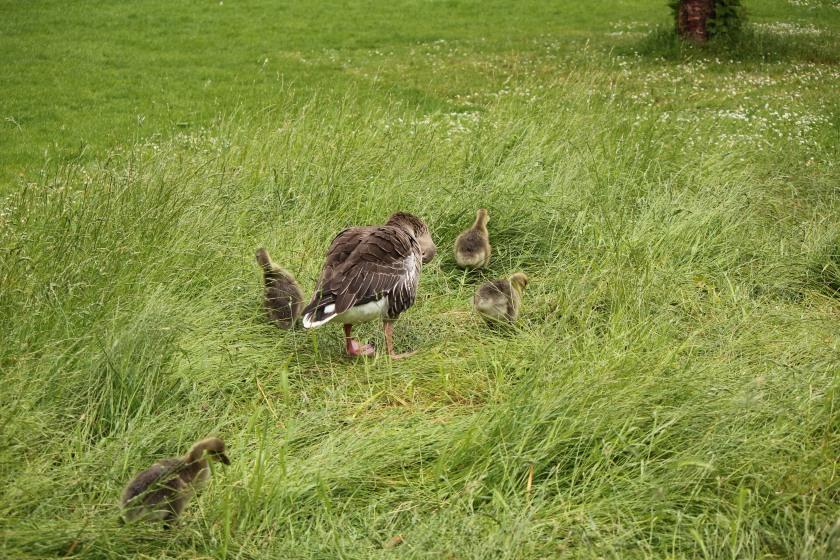 Baby ducks we chased near Buckingham Palace
