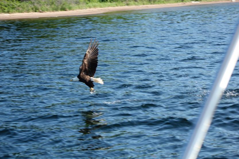 Eagle at Bras d'Or